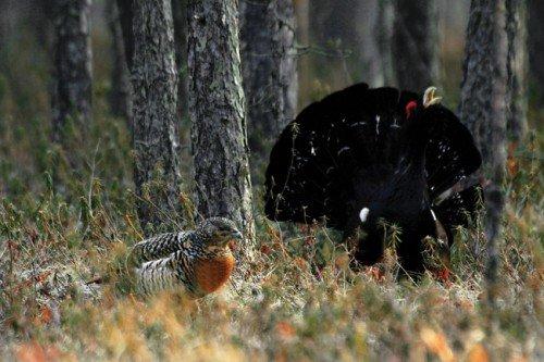 Крылатый государь лесов таежных.
