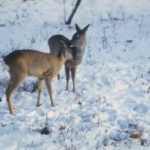 Охота на косулю. Аргаяш зима 2011г.