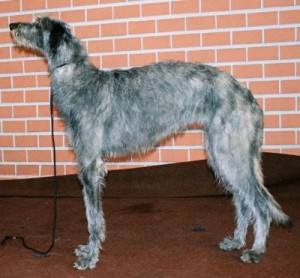 001028_big_Deerhound-300x278.jpg