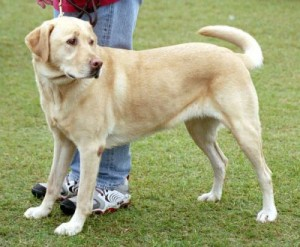 002589_big_labrador_retriver-300x247.jpg
