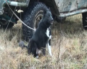 Охотничьи просторы Ярославская область Охота на лося