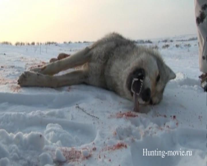 Охотничьи просторы. Охота на волка в Донских степях!