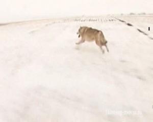 Охотничьи просторы. Охота на волка с флажками. Волдай