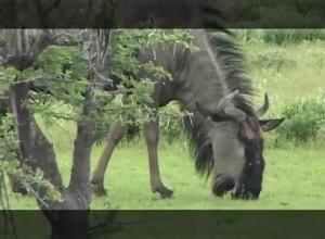Основной инстинкт- Антилопа гну. Намибия