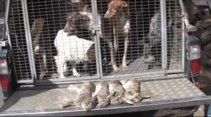 Основной инстинкт Канары Охота на кролика