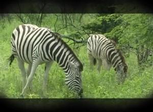 Основной инстинкт- Охота на зебру в Намибии