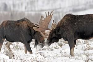 Манок на лося: Охота с манком на лося- охота на вабу