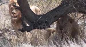 Основной инстинкт- ЮАР. Охота на льва