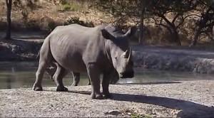 Основной инстинкт- ЮАР. Охота на носорога