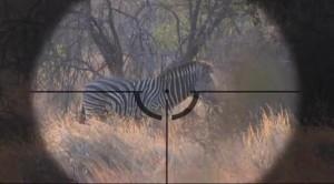Основной инстинкт. Охота на зебру