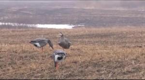 весеняя охота на гусей видео