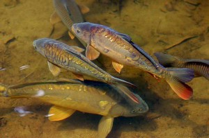 прудовая рыба фото