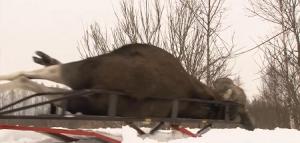 Охота на лося в Ярославской области