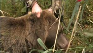 Добор подранка медведя в Эстонии
