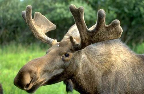 Манок на лося: Охота с манком на лося - охота на вабу.