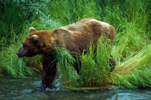 Человек и медведь: Как вести себя при встрече с опасным хищником. Часть 6.
