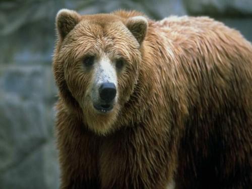 Человек и медведь: Как вести себя при встрече с опасным хищником. Часть 2.