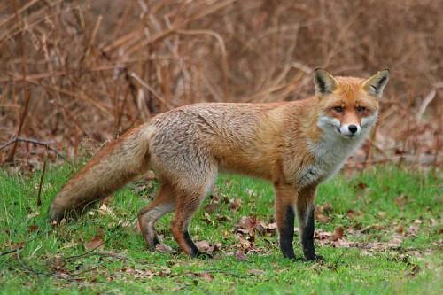 Охота на лисиц.