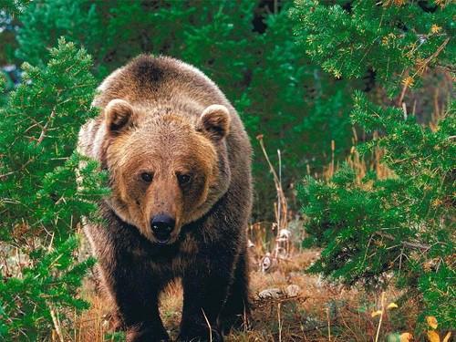 Человек и медведь: Как вести себя при встрече с опасным хищником. Часть 3.