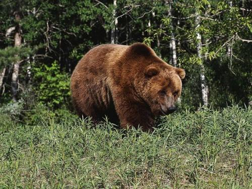 Человек и медведь: Как вести себя при встрече с опасным хищником. Часть 4.
